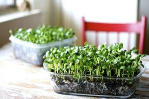 Evde de Yetiştirebileceğiniz Yenilebilen Küçük Mucizelerle Tanışın: Mikro Filizler