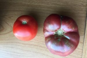 http://www.ozzyman.com/tomato-grown-from-150-year-old-abe-lincoln-dump-compared-to-modern-tomato/ | ozzyman