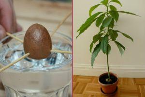 Saksılara Bahar Gelsin: 5 Basit Adımla Evde Avokado Bitkisi Nasıl Yetiştirilir?