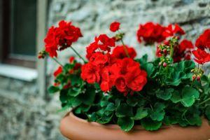 Rengarenk Çiçekleri Evinizden Eksik Olmasın: Solan Sardunya Nasıl Canlandırılır?