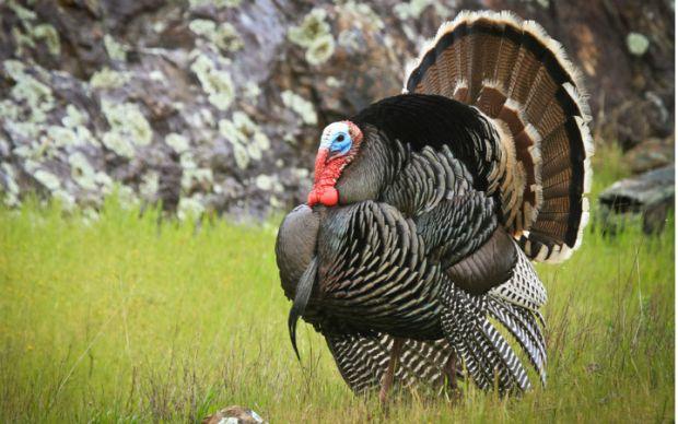 hindiye-neden-turkey-denir
