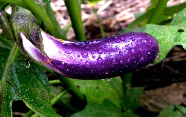 https://urbanharvestgso.wordpress.com/2010/07/20/eggplant-carpaccio/ | urbanharvestgso - meyve olan sebzeler