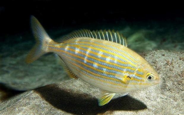 Sarpa Balığı