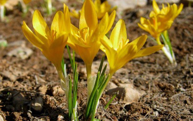 ankara-cigdemi-endemik-bitkiler-one-cikan