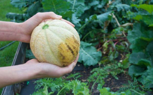 https://cam-mackugler-seedsheet.squarespace.com/new-blog/howtoharvestmelons | cam-mackugler-seedsheet
