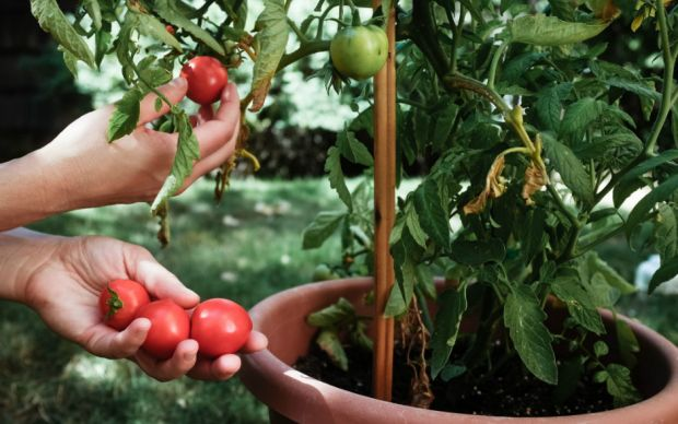 https://www.thespruce.com/tips-for-growing-tomatoes-in-containers-848216   thespruce