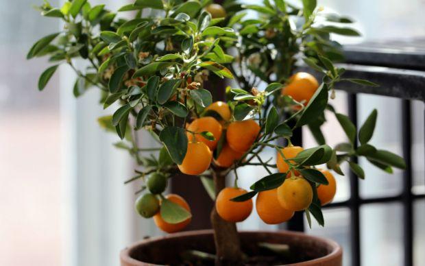 mandalina-nasil-yetistirilir-3