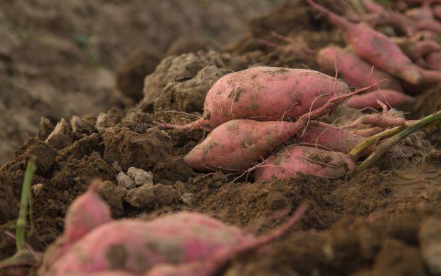 tatli-patates-nasil-yetistirilir-3
