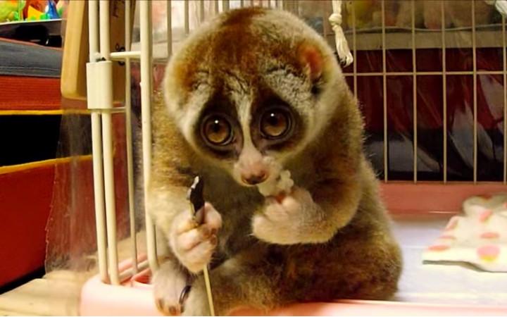 slow-loris-lemur-pilav
