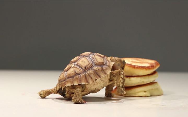 pancake-yemeye-calisan-kaplumbaga