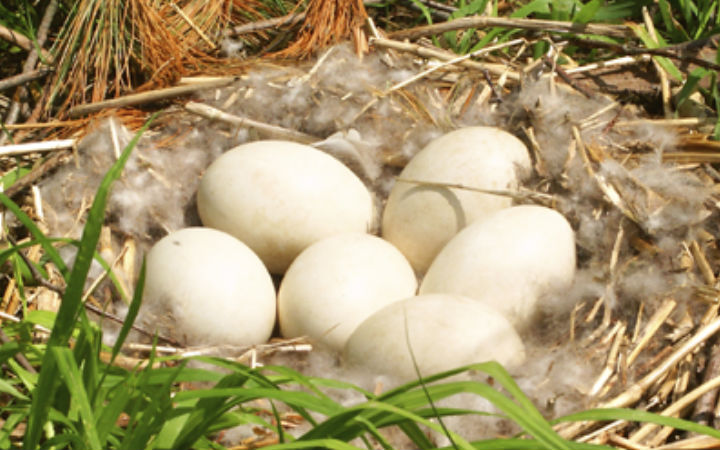 kaz-yumurtasi