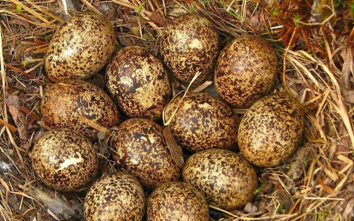 keklik -yumurtası