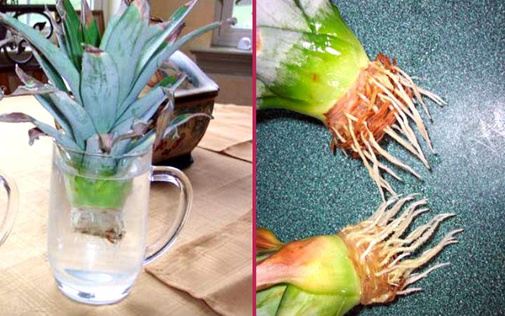 ananastan-bitki-yetiştirme2