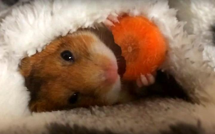 sevimli-hamster