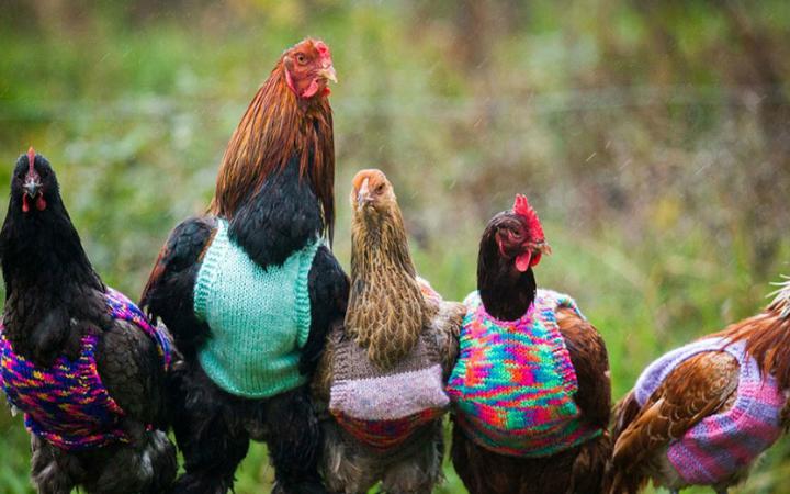 tavuklara-kazak-giydiren-kadin-one-cikan