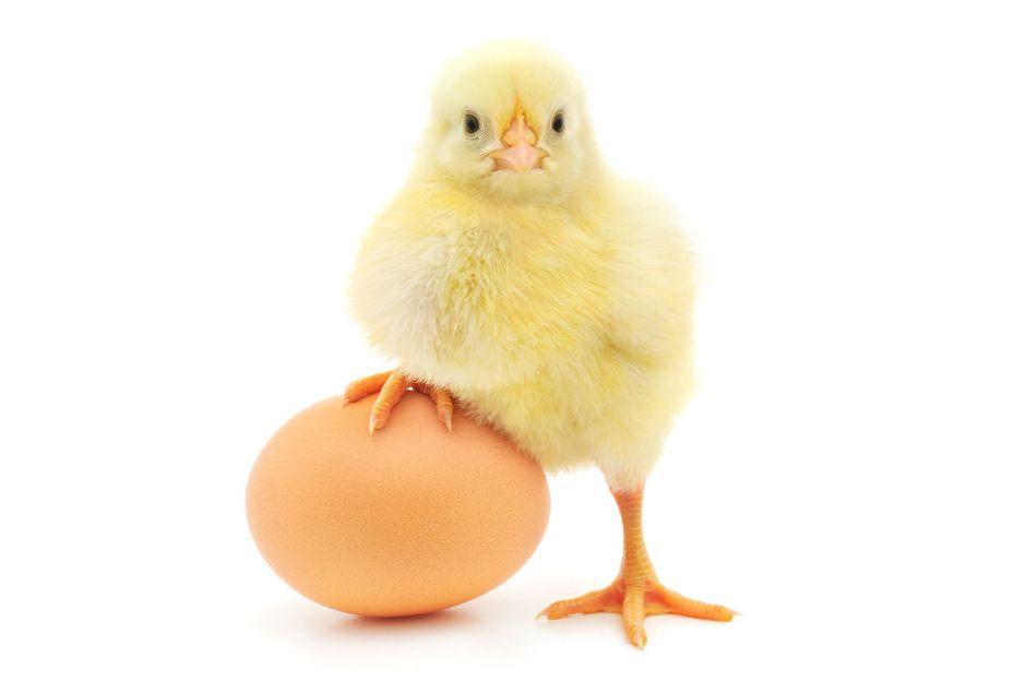 tavuk-mu-yumurtadan-yumurta-mi-tavuktan
