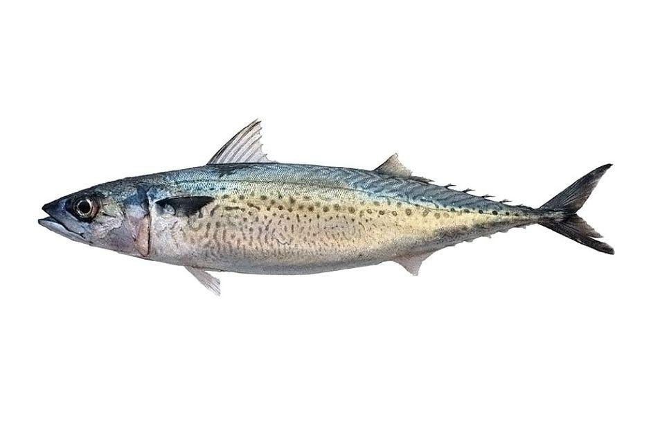 kolyoz balığı