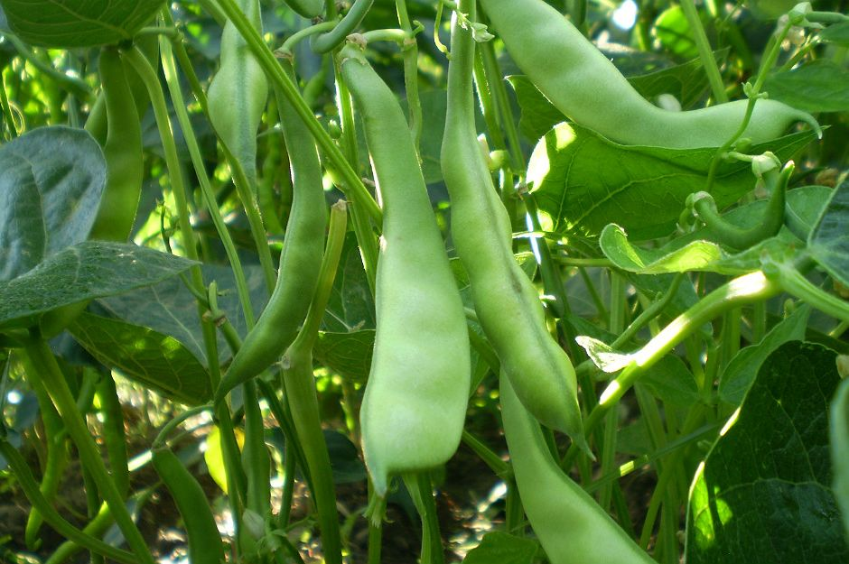 fasulye-bitkisi