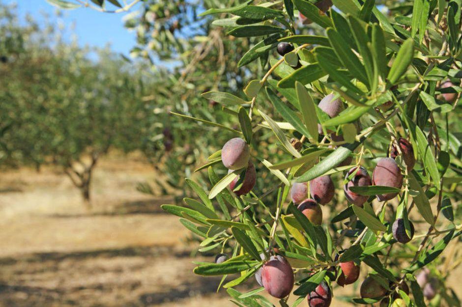 http://www.ebay.com/gds/How-to-Grow-an-Olive-Tree-/10000000205096672/g.html |www.ebay.com