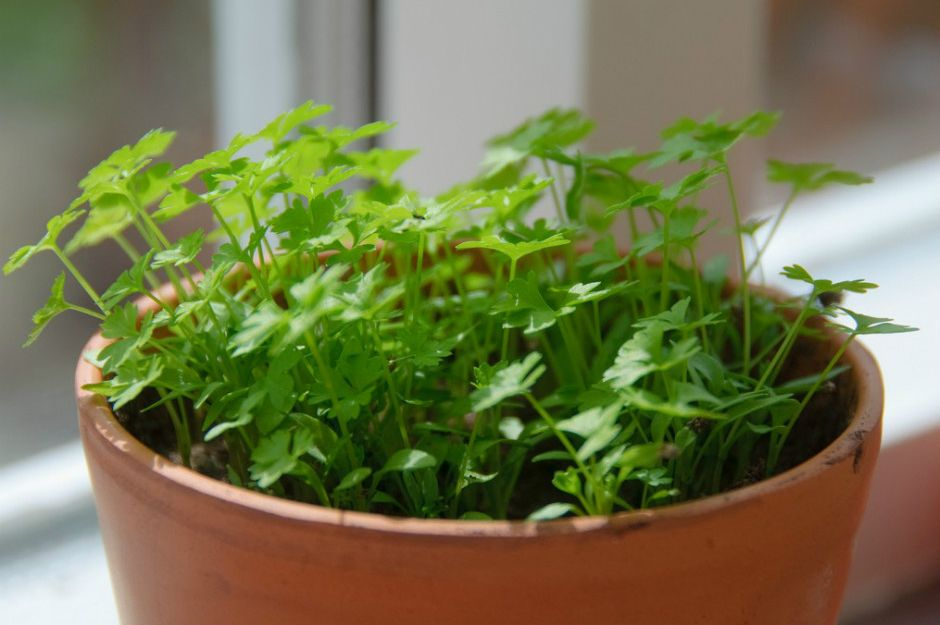 https://www.gardeningknowhow.com/edible/herbs/parsley/growing-parsley-indoors.htm | gardeningknowhow