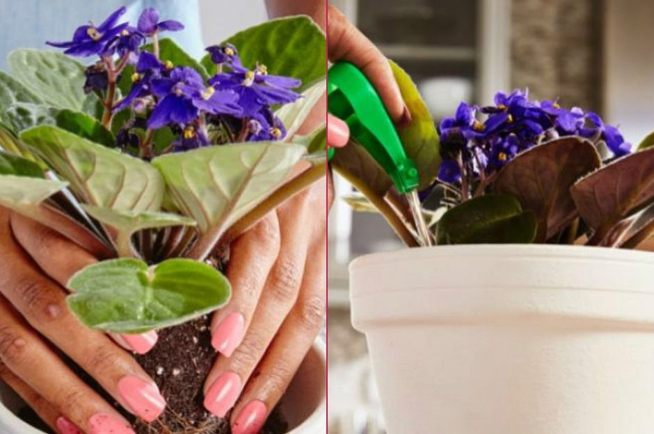 https://www.miraclegro.com/en-us/library/indoor-gardening/how-grow-african-violets | miraclegro