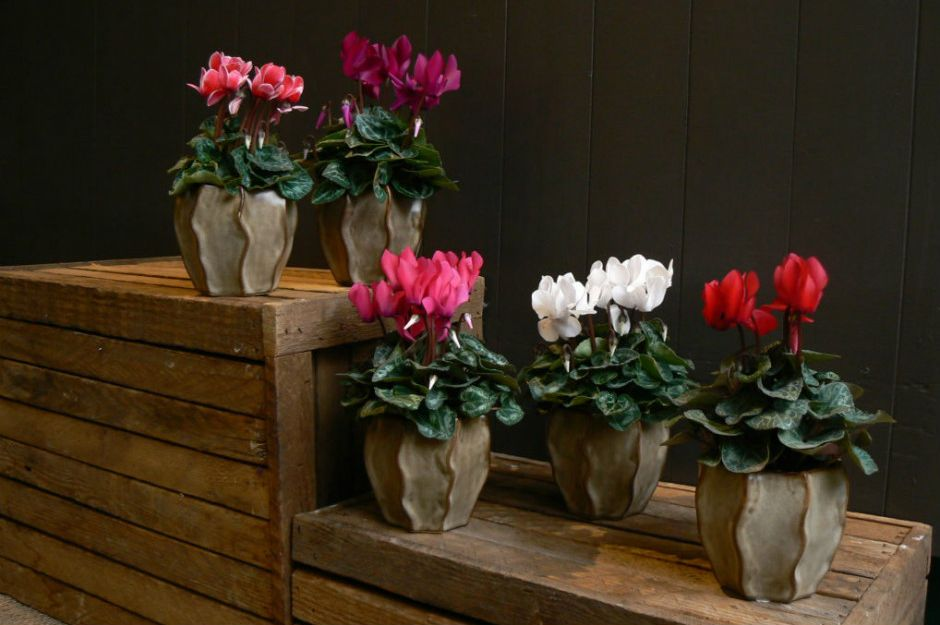 http://blog.sheridannurseries.com/holiday-houseplants/ | sheridannurseries.
