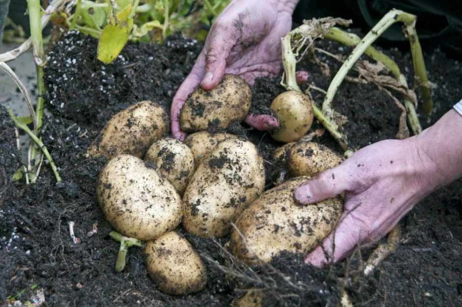 https://schoolgardening.rhs.org.uk/Resources/Sequence-Card/How-to-grow-potatoes-in-containers?returnUrl=%2Fresources%2Ffind-a-resource%3F%253Fso%3D0%26pi%3D0%26ps%3D10%26f%3D1%2C4%3A | schoolgardening