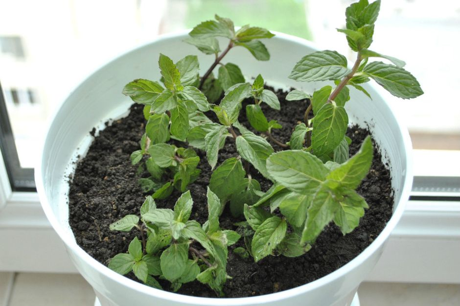 https://www.wikihow.com/Grow-Mint-in-an-Apartment | wikihow