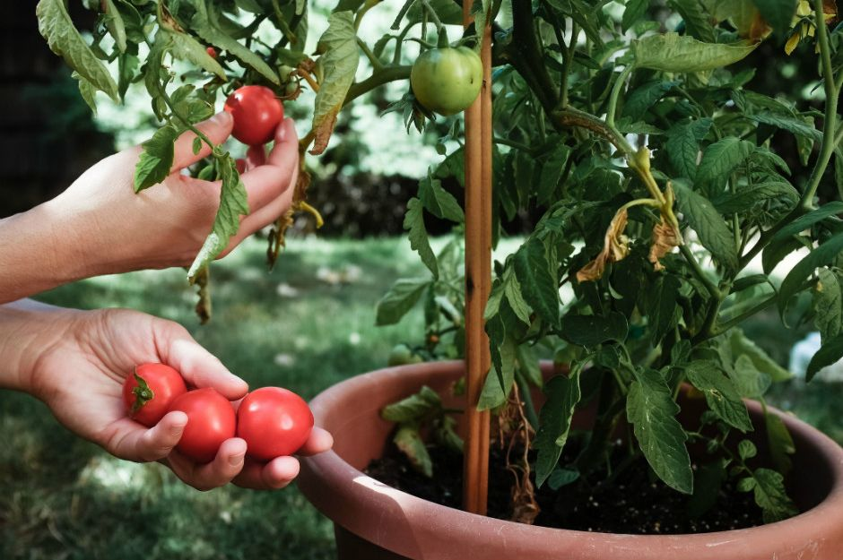 https://www.thespruce.com/tips-for-growing-tomatoes-in-containers-848216 | thespruce