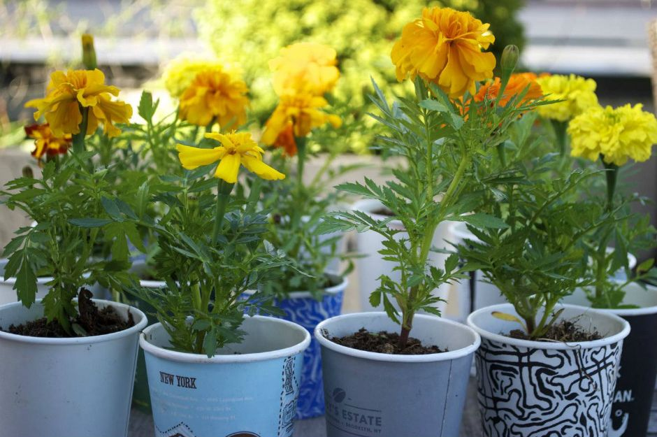 https://gardencollage.com/wander/gardens-parks/super-easy-kids-project-coffee-cup-marigolds/ | gardencollage