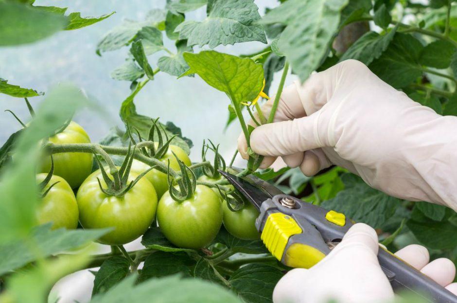 https://gardening.visualstories.com/pruning-tomato-plants | gardening.visualstories