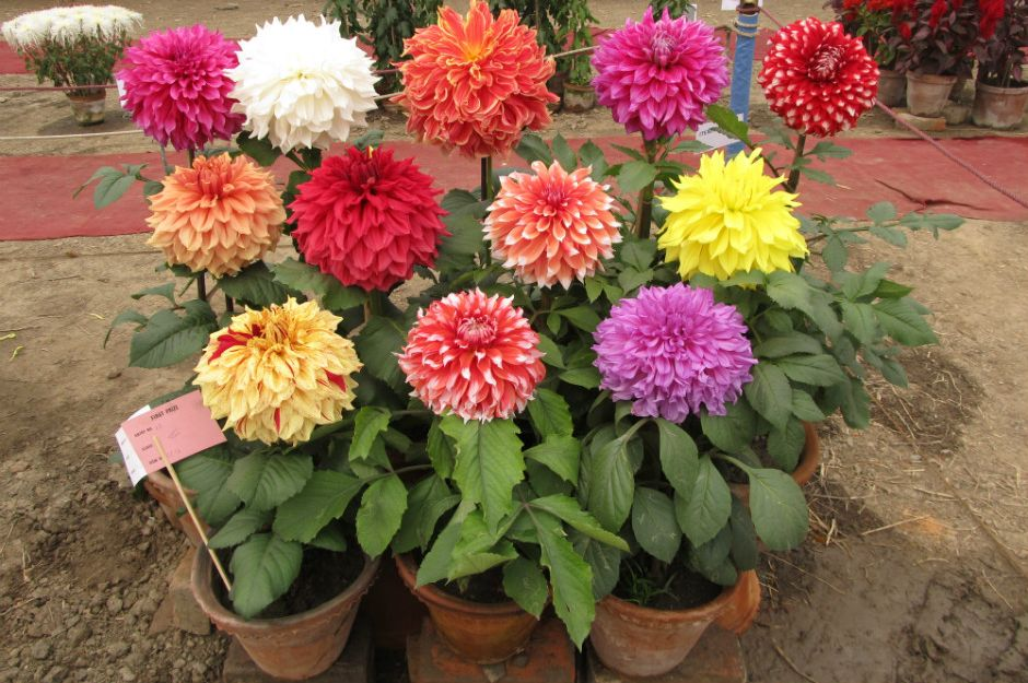 https://blog.nurserylive.com/2016/12/17/gardening-tips-to-grow-dahlias-and-gardening-in-india | blog.nurserylive