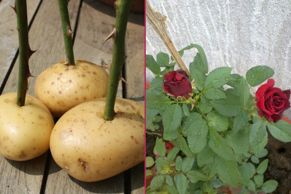 patateste-gul-yetistirme-one-cikan