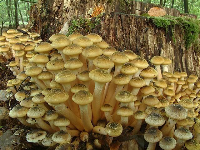 atlantedeifunghi - bal mantarı yenilebilir mantarlar