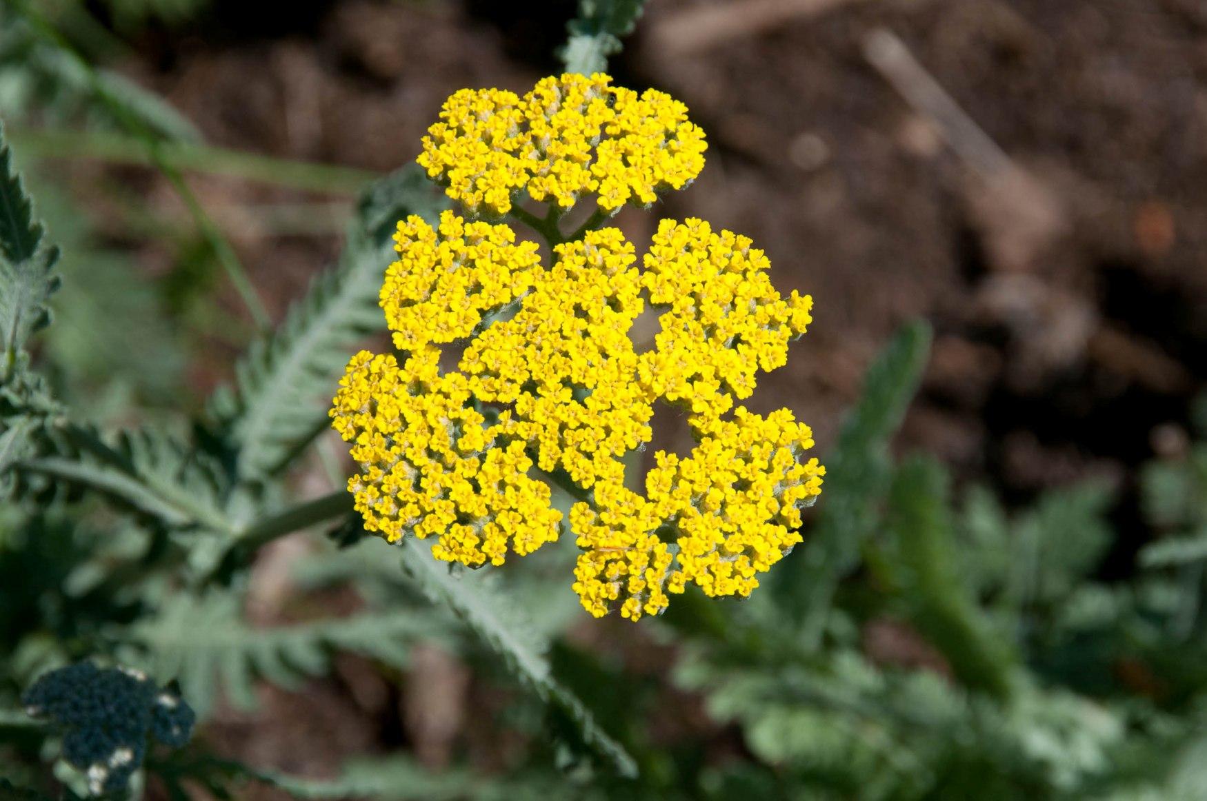 Adet Dönemi Sancısına Ne İyi Gelir: Adet Dönemi Ağrılarına Bitkisel Çözüm