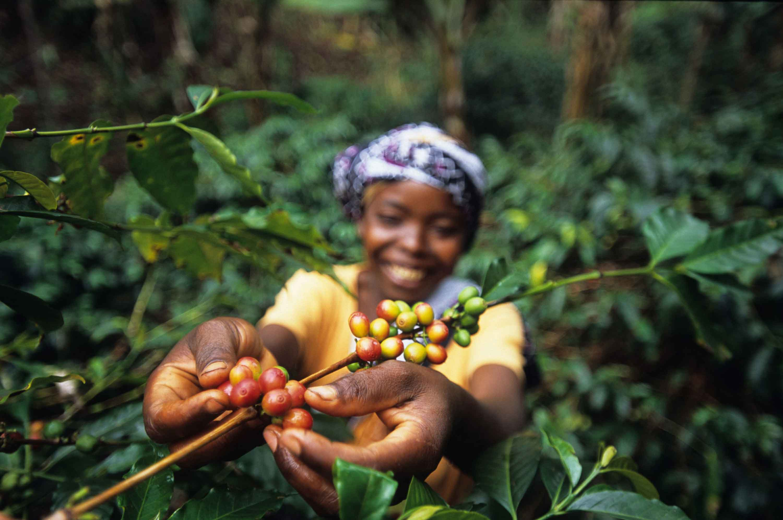 greenster - kahve nasıl toplanır?