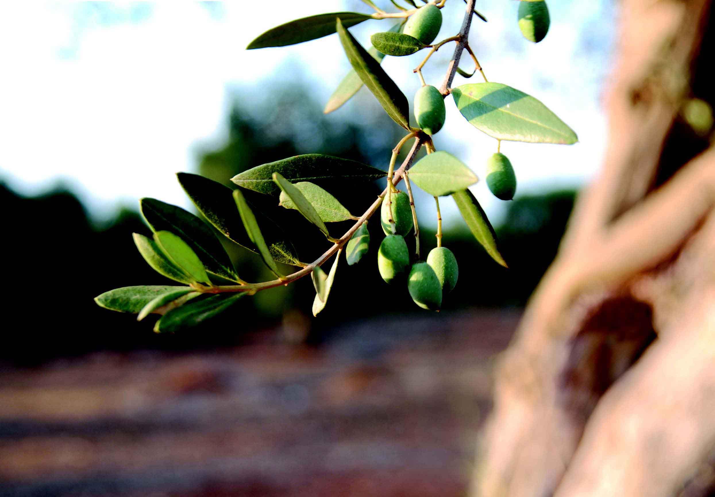 oliveoil - meyve olan sebzeler
