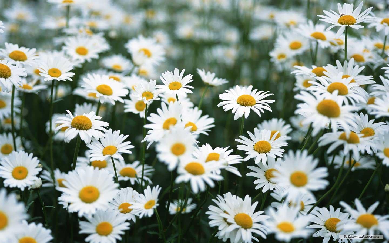 http://dreamatico.com/daisy.html | dreamatico