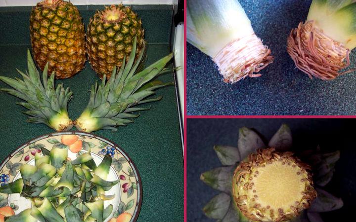 ananastan-bitki-yetiştirme