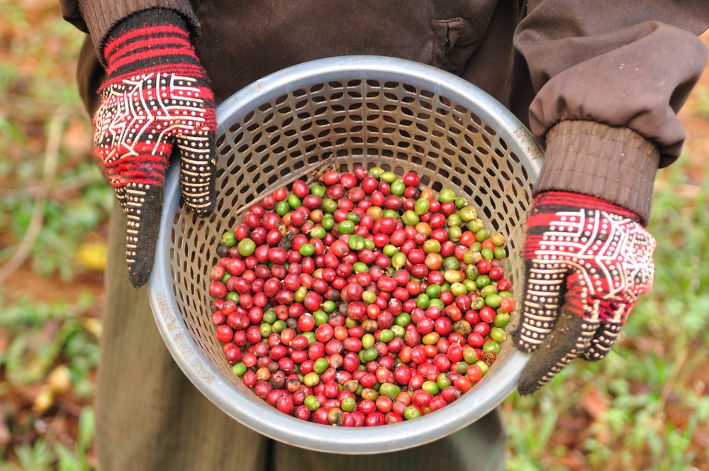 kahve-toplama