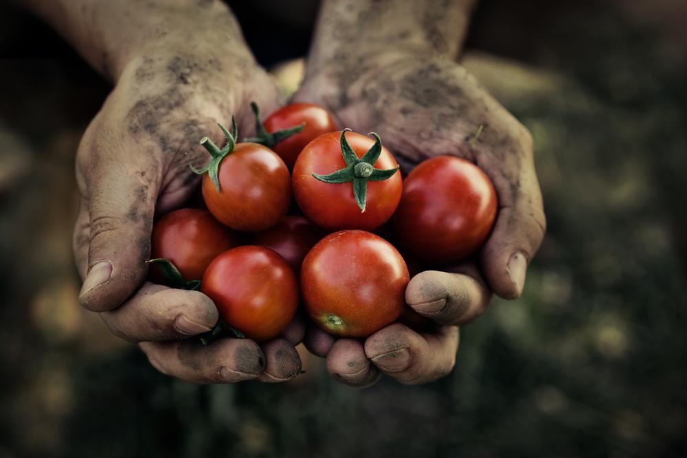 domatesin-kesfi