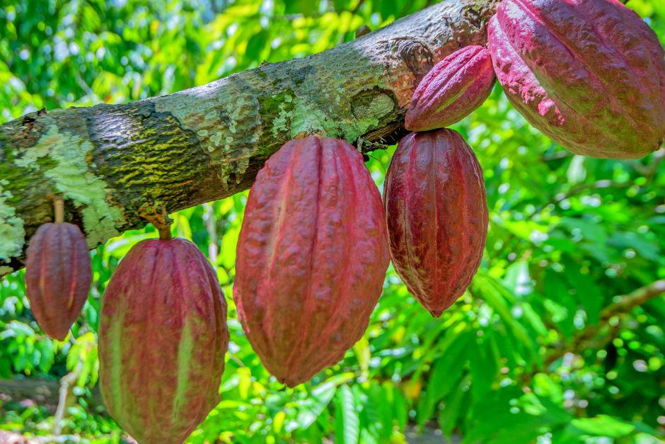 kakao-agaci
