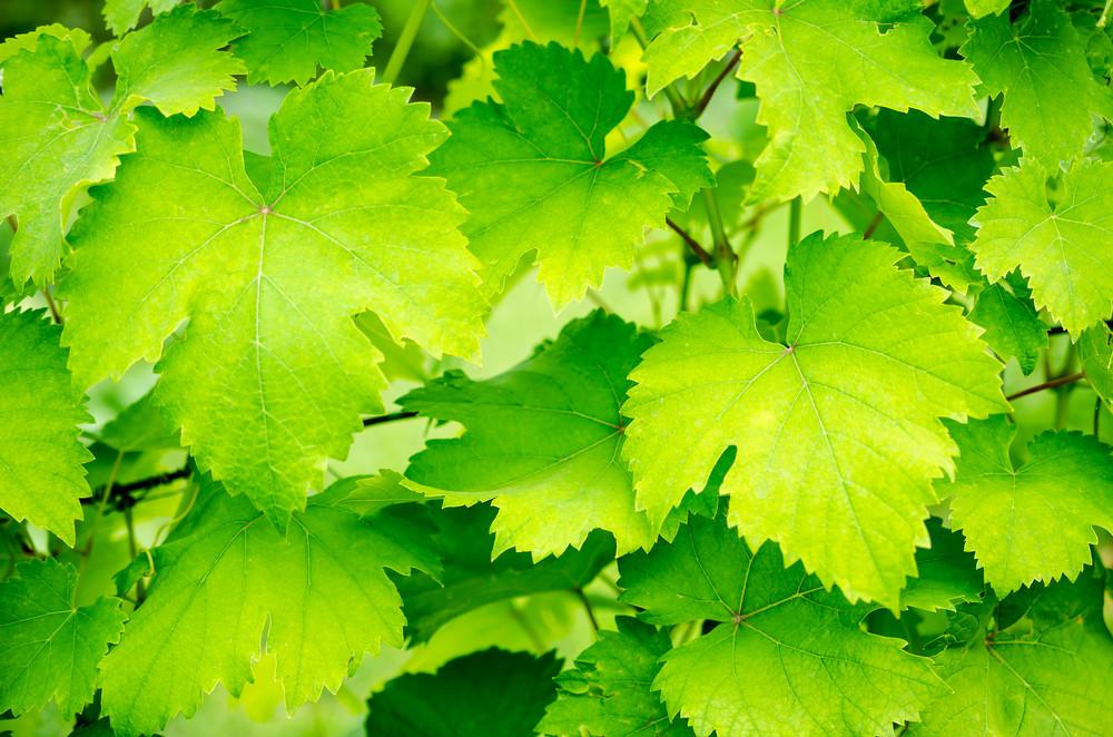 asma-yapragi-yaz-sebzeleri