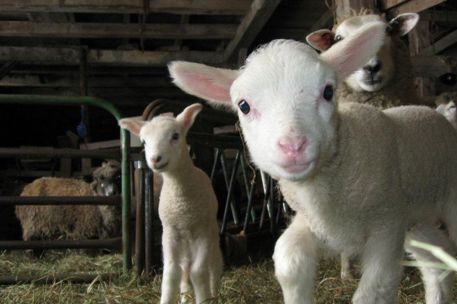 sheepandpicklefarm.com