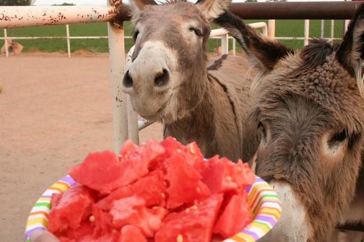 Karpuz Görünce Ne Yapacağını Şaşıran İştahı Bol 13 Sevimli Hayvan -  Yemek.com