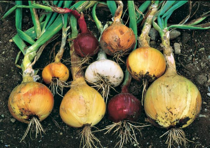 vegetablegardener