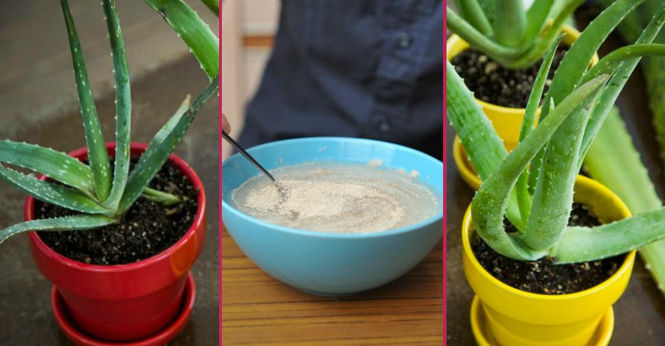 Vera iyi aloe gelirmi rosacea Aloe vera