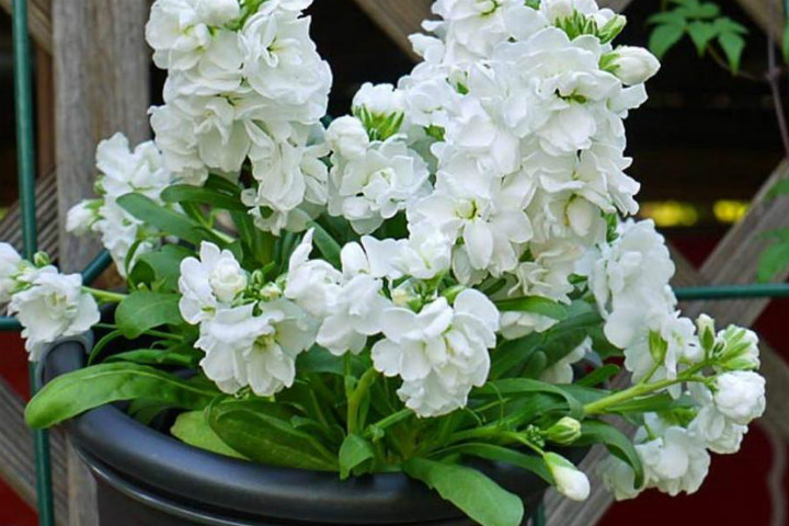 https://www.caribbeangardenseed.com/products/stock-matthiola-incana-ten-week-white-gillyflower-night-scented-seeds | caribbeangardenseed