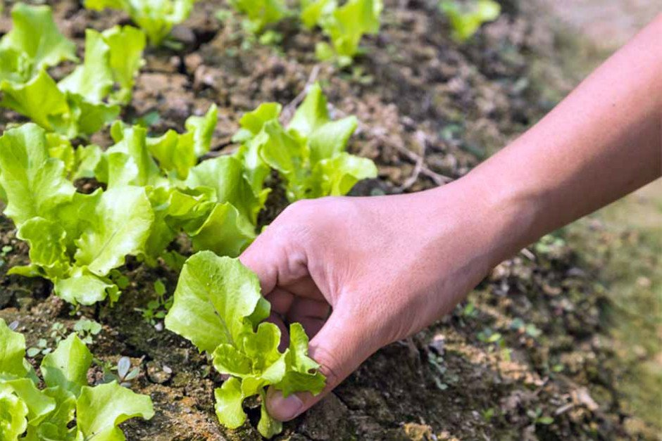 https://gardenerspath.com/plants/vegetables/successful-lettuce-patch/ | gardenerspath